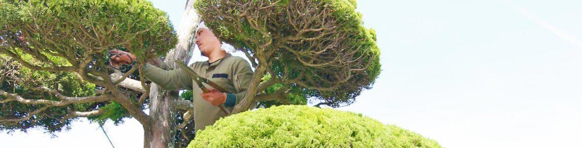 高所でマキを剪定する庭師