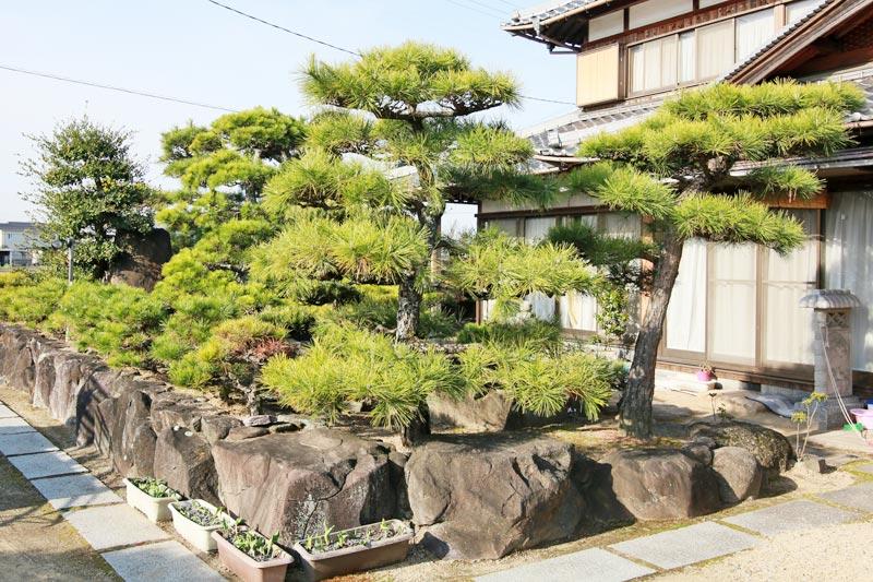 剪定される前の伸びきった庭木や松