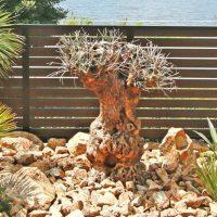 スペイン産のオリーブの古木