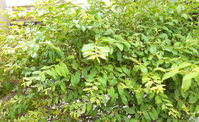 緑になったシルバープリペットの葉