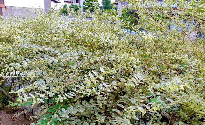 白い斑入りの葉に戻ったシルバープリペット