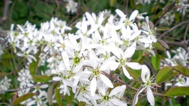 白く可愛い花が咲くジューンベリー