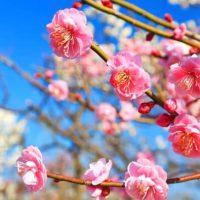 青空の下、満開の花を咲かせる梅の木