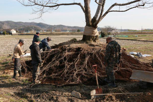 庭木の移植