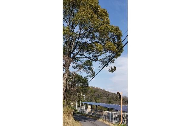 電線に枝がかかった楠木